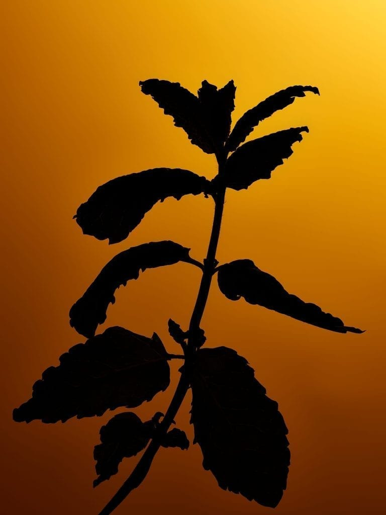Test image, part of a series of silhouette herbs with different colour backgrounds, this one is of mint.